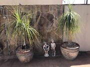 2 x Ponytail Palms in large glazed pots Holloways Beach Cairns City Preview