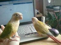 Pair of pineapple conure parrot talking parrot