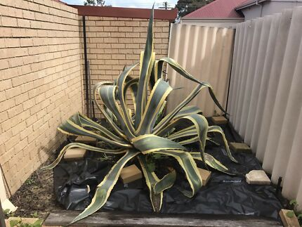 Agave Americana cactus for free