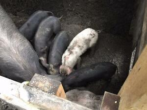 Purebred Berkeshire Piglets for sale!!! Eight weeks old