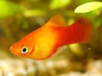 Platy fish for sale £1 each