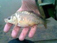 mirrow carp