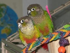 Green cheek conure pair with big corner cage