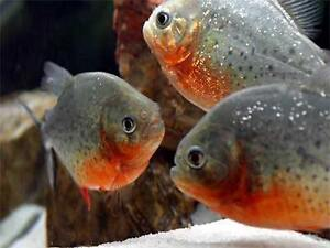 Looking for Oscars, and Piranhas