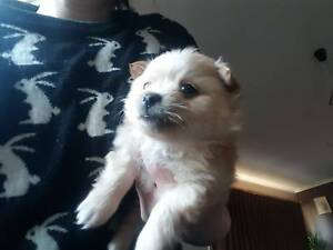2 Male Pomeranian Puppies for sale Riddells Creek Macedon Ranges Preview