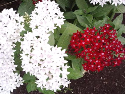 Wanted; pentas plants any colour wanted.