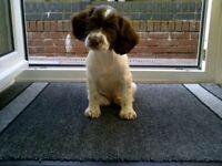 Springer pup for sale