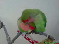 Young healthy lovebirds