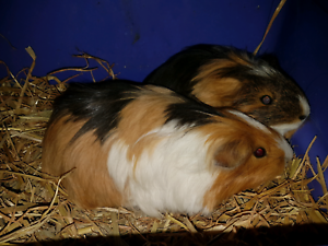 Care Package + Rescue Guinea Pigs Edgeworth Lake Macquarie Area Preview