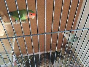 Lovebirds quails and cages Cessnock Cessnock Area Preview