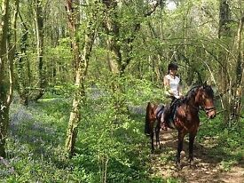 Lovely boy for part/full loan - Thoroughbred X 15.3hh