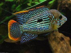 Looking for a male green Terror Cichlid.