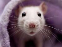 2 pet rats with cage for sale