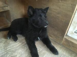 Purebred Belgian Sheepdogs for sale