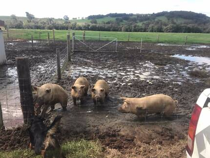 Pigs for sale - free range