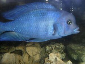Wanted Blue Dolphin Cichlid *Cyrtocara Moori Kitchener / Waterloo Kitchener Area image 1