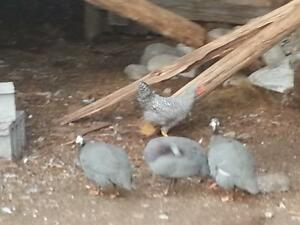 Pearl Grey Guinea Fowl Peterborough Peterborough Area image 2