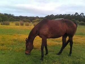Free quiet gelding Albany Albany Area Preview