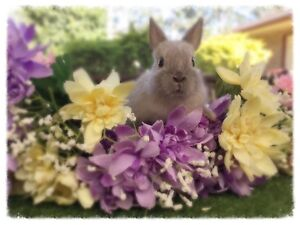 Purebred Baby Netherland Dwarf Rabbit For Sale Medowie Port Stephens Area Preview