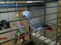 African grey parrot taimd