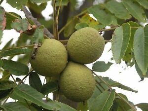 Free Black Walnuts