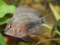 Uaru 7-8cm for sale - Rare! - live tropical fish