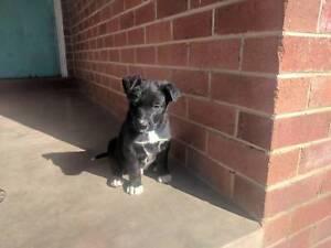 Kelpie Border Collie cross pups for sale Blayney Blayney Area Preview