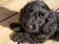 PRA clear Doxiepoo ( Toy Poodle x Mini Dachshund ) Puppies