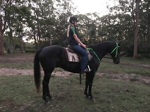 BLACK ASH/QH QUALITY GELD 6yo Eye Catching Very Quiet 15hh Narangba Caboolture Area Preview