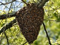Honeybee swarms collected
