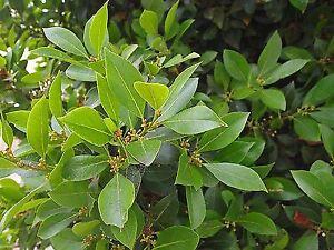 Laurus nobilis - Bay Tree , Cutting Raised, Aromatic - Plant in 3.5