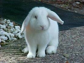 Castrated Pure Bred Albino French Lop