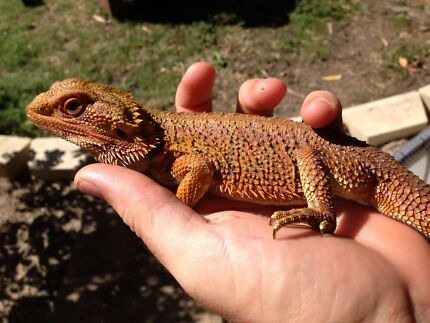 Bearded Dragons and outdoor enclosures