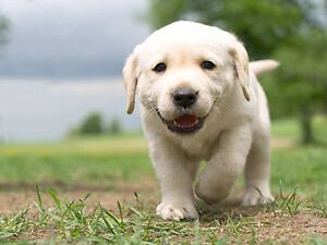 Wanted Labrador puppies Clearview Port Adelaide Area Preview
