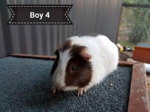 Male Guinea Pig for Sale Kangy Angy Wyong Area Preview
