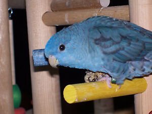 ⭐Male Linnie Available with Cage⭐