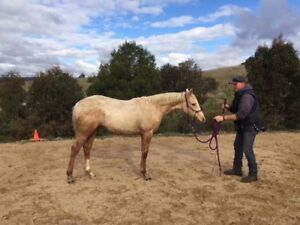 Gorgeous Filly eligible for Phaa reg Broadford Mitchell Area Preview