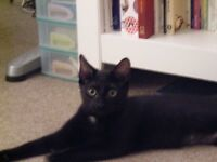 Black male kitten 6 month old