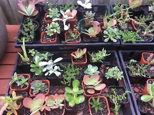 Assorted succulents in 80 - 100 ml pots $3 each Meadow Springs Mandurah Area Preview