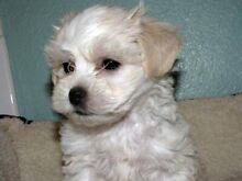 WANTED!! Looking for a puppy Parafield Gardens Salisbury Area Preview