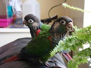 ❤️⭐❤️Hand Tamed⭐Conures with Cage❤️⭐❤️