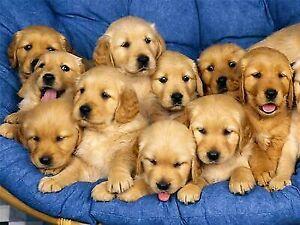Golden Retriever In Melbourne Region Vic Dogs Puppies