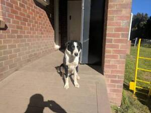 Collie dog for sale Blayney Blayney Area Preview