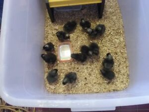 Day old Plymouth Rock chicks Nana Glen Coffs Harbour Area Preview