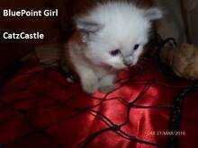 Purebred Ragdoll kitten Dural Hornsby Area Preview