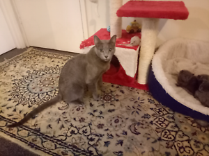Purebred Russian Blue Kittens Chippendale Inner Sydney Preview