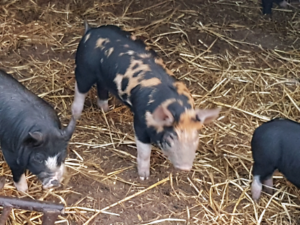 Free Range Grower pigs and Slips for sale