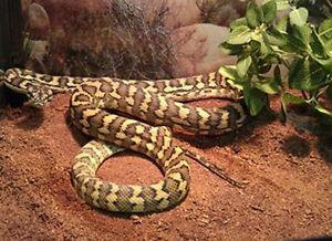 Python tapis de la jungle
