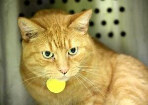 "Adult Male Cat - Domestic Short Hair: ""Coco"""