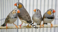 lots of zebra finches